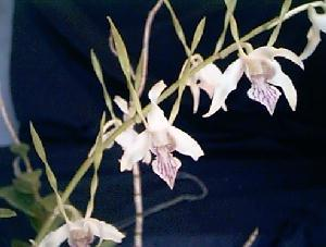 Dendrobium antennatum, Orchid