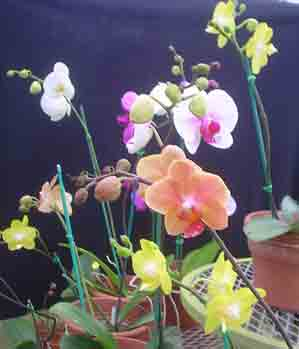 Phalaenopsis Species